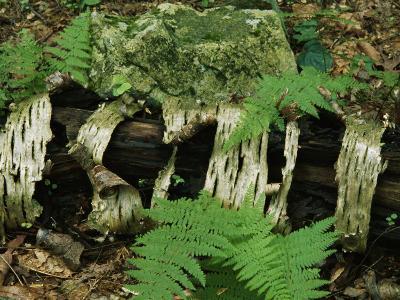Moss-Covered Birch Log and Ferns at the Thuya Garden-Raymond Gehman-Photographic Print