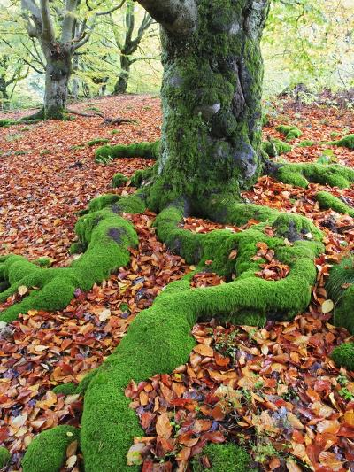 Moss Covered Roots Surrounded by Leaves-Frank Lukasseck-Photographic Print