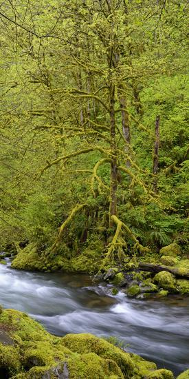 Moss Covered Trees Along Tanner Creek, Columbia Gorge National Scenic Area, Oregon, Usa--Photographic Print