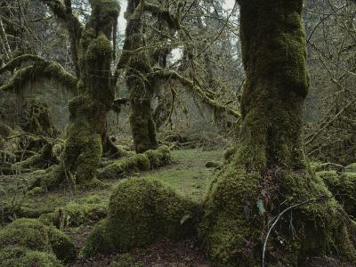 Moss-Covered Trees in the Hoh River Valleys Temperate Rain Forest-Sam Abell-Photographic Print