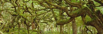 Moss-covered Trees-David Nunuk-Photographic Print
