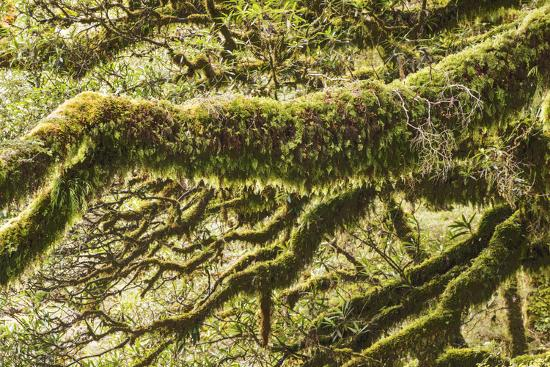 Moss, Lichen, Liverwort, and Other Clinging Greenery Cover Tree Limbs-Michael Melford-Photographic Print