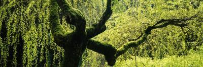 Moss on a Weeping Willow Tree, Japanese Garden, Washington Park, Portland, Oregon, USA--Photographic Print
