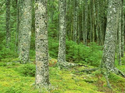 Moss Spruce Trees, Acadia National Park, Duck Brook, ME-Jim Schwabel-Photographic Print