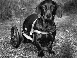 Moss the Dashshund in a Canine Wheelchair with the Slipped Disc, June 1960