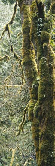 Mossy Tree Trunk, Olympic National Forest, Olympic National Park, Washington, USA-Paul Souders-Photographic Print