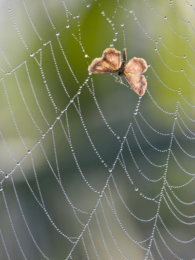 Moth in Spiderweb, Bavaria, Germany-Konrad Wothe-Photographic Print