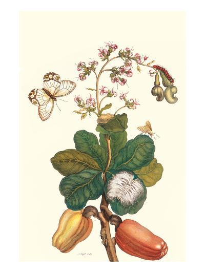 Moth on Cashew Apple-Maria Sibylla Merian-Art Print