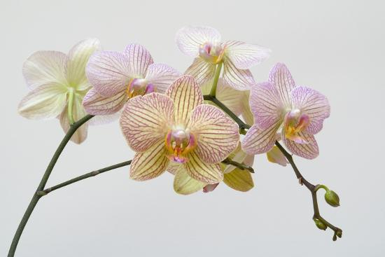 Moth Orchid (Phalaenopsis Lundy) Epiphyte--Photographic Print