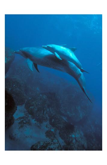 Mother and Baby Dolphins-Charles Glover-Art Print