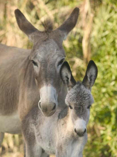 Mother and Baby Donkeys on Salt Cay Island, Turks and Caicos, Caribbean-Walter Bibikow-Photographic Print