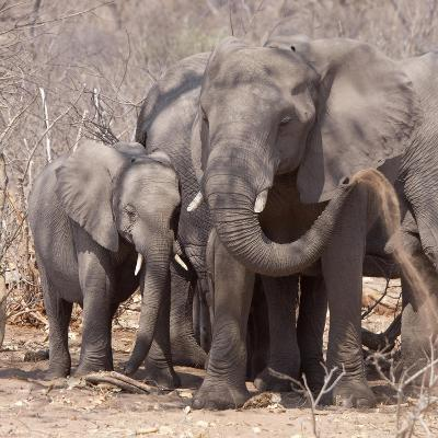 Mother and Baby Elephant Preparing for a Dust Bath, Chobe National Park, Botswana-Wendy Kaveney-Photographic Print