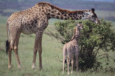 Mother and Baby Giraffe Grazing Together-DLILLC-Photographic Print