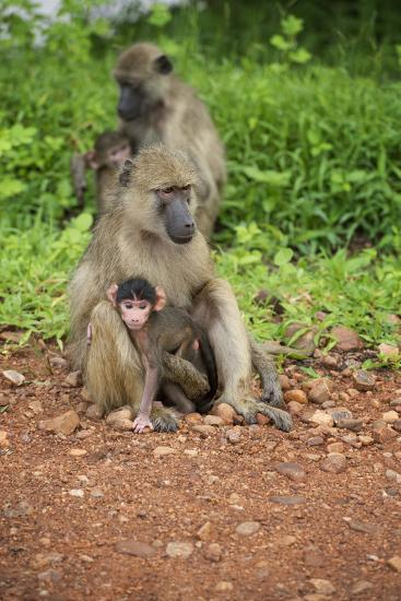 Mother and Baby Yellow Baboon (Papio Cynocephalus), South Luangwa National Park, Zambia, Africa-Janette Hill-Photographic Print