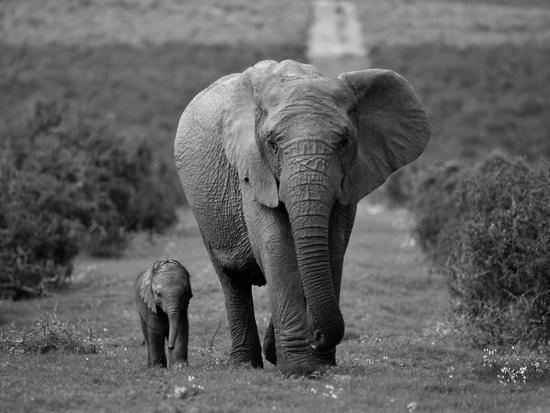 Mother and Calf, African Elephant (Loxodonta Africana), Addo National Park, South Africa, Africa-Ann & Steve Toon-Photographic Print