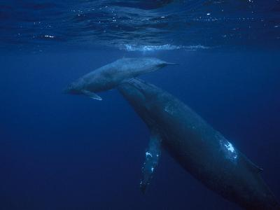 Mother and Calf Humpback Whales, Swimming in a Serene Blue Sea-Paul Sutherland-Photographic Print