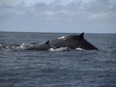 Mother and Calf Humpback Whales with Backs Arched Out of the Water-Paul Sutherland-Photographic Print