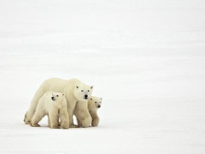 Mother and Cubs Walking-John Conrad-Photographic Print