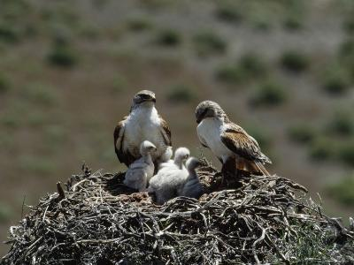 Mother and Father Ferruginous Hawk Sit in Their Nest near the Snake River, Idaho-James P^ Blair-Photographic Print