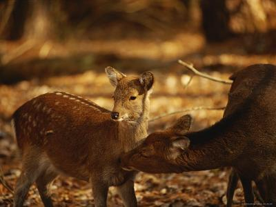 Mother and Fawn Sika Deer-Raymond Gehman-Photographic Print