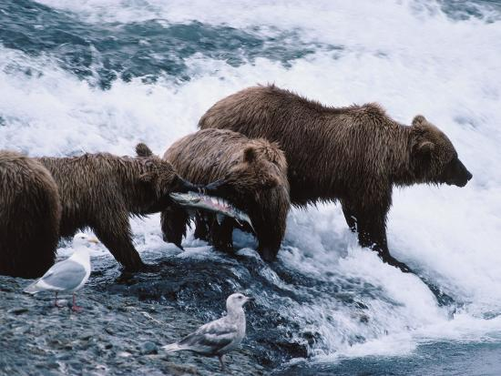 Mother and Two-Year-Old Grizzly Bear Cubs Eating Fish in a Stream-Jeff Foott-Photographic Print