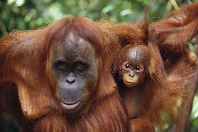 Mother and Young Orangutan-DLILLC-Photographic Print