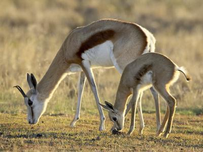 Mother and Young Springbok, Mountain Zebra National Park, South Africa-James Hager-Photographic Print