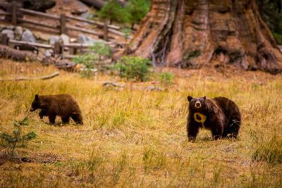 Mother Brown Bear and Her Cub, Sequoia National Park, California-Laura Grier-Photographic Print