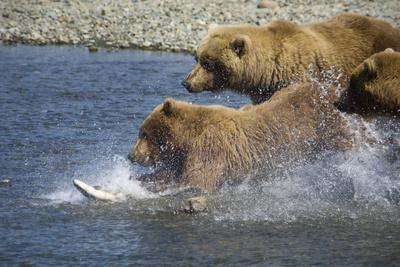 Mother Brown Bear and Her Cubs Chase Salmon at Mikfik Creek During Summer in Southwest Alaska-Design Pics Inc-Photographic Print