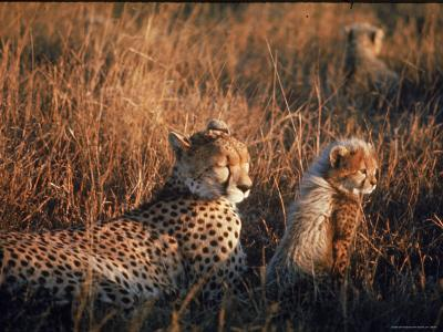 Mother Cheetah and Her Cub in Game Preserve in Africa-John Dominis-Photographic Print