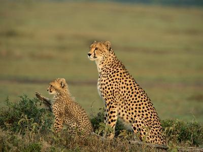Mother Cheetah and Her Young Look Out onto the Landscape-Norbert Rosing-Photographic Print