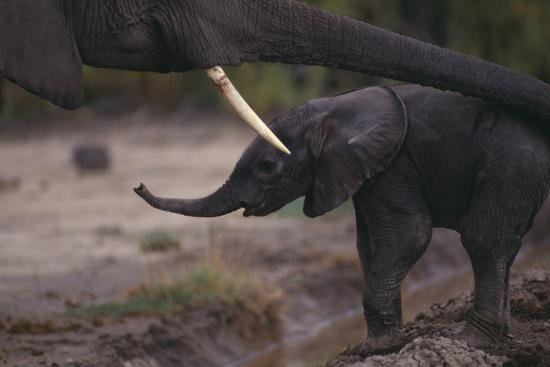 Mother Elephant Encouraging Baby-DLILLC-Photographic Print