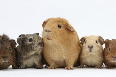 Mother Guinea Pig and Four Baby Guinea Pigs, Each a Different Colour-Mark Taylor-Photographic Print