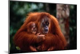 Mother Holding Baby Orangutan-DLILLC-Mounted Photographic Print