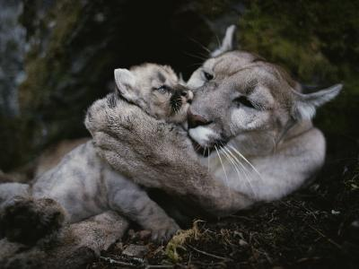 Mother Mountain Lion, Felis Concolor, Grooms a Two-Week-Old Kitten-Jim And Jamie Dutcher-Photographic Print