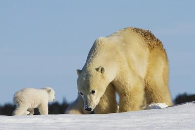 Mother Polar Bear (Ursus Maritimus) Playing with Her Cub in Wapusk National Park; Churchill-Design Pics Inc-Photographic Print
