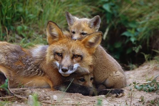 Mother Red Fox and Pups-W^ Perry Conway-Photographic Print