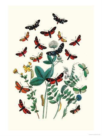 https://imgc.artprintimages.com/img/print/moths-a-infausta-i-globularioe_u-l-p2bn430.jpg?p=0