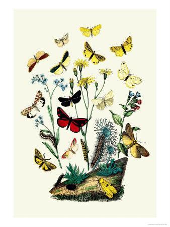 https://imgc.artprintimages.com/img/print/moths-c-miniata-s-aurita_u-l-p2bn4u0.jpg?p=0
