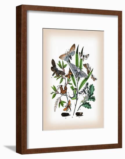 Moths: Cerura Vinula, C. Erminea-William Forsell Kirby-Framed Art Print