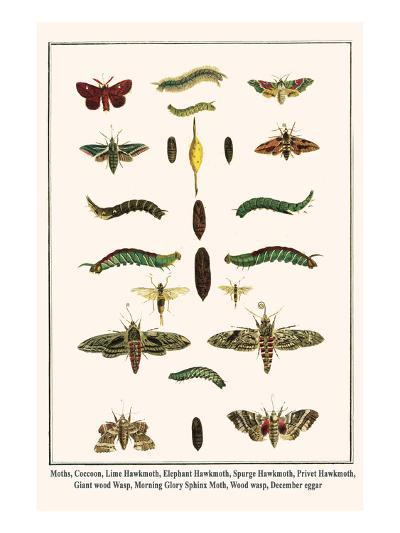 Moths, Coccoon, Lime Hawkmoth, Elephant Hawkmoth, Spurge Hawkmoth, Privet Hawkmoth, etc.-Albertus Seba-Art Print
