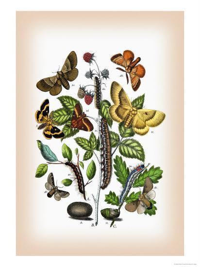 Moths: Eriogaster Rimicola, E. Catax-William Forsell Kirby-Art Print