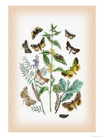 https://imgc.artprintimages.com/img/print/moths-plusia-iota-p-hochenwarthi_u-l-p29c1f0.jpg?p=0