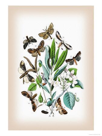 https://imgc.artprintimages.com/img/print/moths-pterostoma-palpina-statalia-argentina_u-l-p29bsf0.jpg?p=0