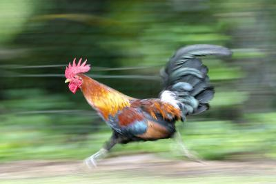Motion Blur of a Wild Rooster at Hanalei Beach on the Na Pali Coast of Kauai, Hawaii-Rich Reid-Photographic Print