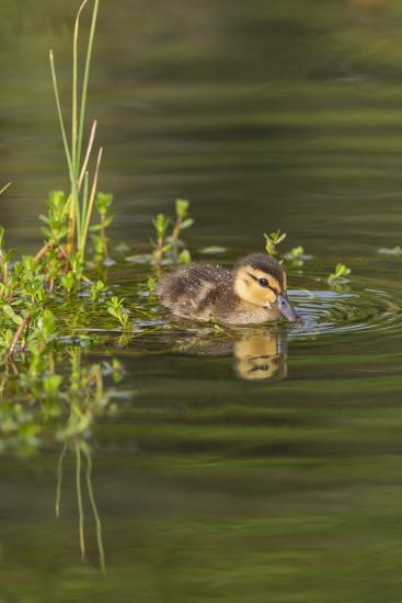 Mottled Duck Duckling on Pond-Larry Ditto-Photographic Print