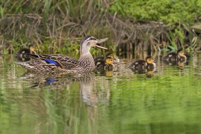 Mottled Duck Hen and Young Feeding-Larry Ditto-Photographic Print