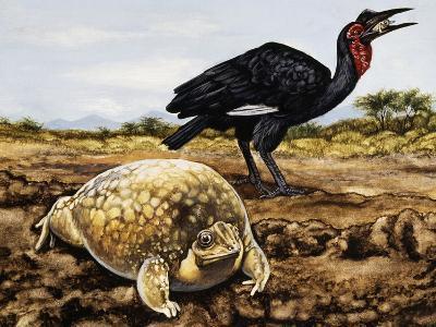 Mottled Shovel-Nosed Frog (Hemisus Marmoratus), Hemisotidae--Giclee Print