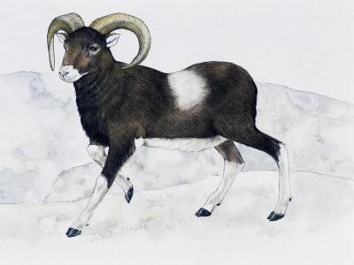 Mouflon (Ovis Aries Musimon), Bovidae--Giclee Print