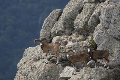 Mouflon (Ovis Musimon) Males on Rock Face, Parc Naturel Regional Du Haut-Languedoc, Caroux, France- Arndt-Photographic Print